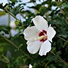 Red Heart Rose of Sharon Hibiscus