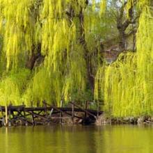 Niobe Gold Weeping Willow