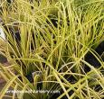 Acorus Ogon Grass