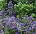 Caryopteris Grand Bleu
