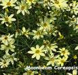 Coreopsis Moonbeam