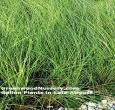 Miscanthus Gracillimus Maiden Grass