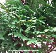 Holmstrup Eastern Arborvitae Tree