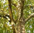 London Plane Tree | Platanus × acerifolia