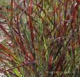 Hot Rod Switch Grass