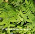 Royal Ferns