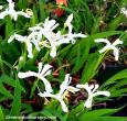 Tennessee White Crested Iris