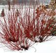 Arctic Fire Dogwood Shrubs