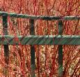 Red Twig Dogwood Shrubs