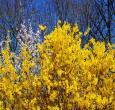 Golden Forsythia Bushes