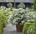 Fairytrail Bride Hydrangea