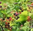 Cumberland Black Raspberry Plants