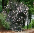 Sambucus Black Lace Elderberry
