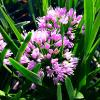Allium Millenium - Ornamental Onion