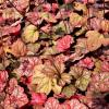 Amber Lady Heuchera