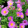 Aster Woods Purple
