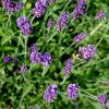 Blue River Lavender Plants