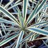 Yucca Bright Edge