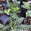 Christmas Fern - Polystichum acrostichoides