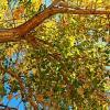 Siouxland Cottonwood Trees