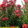 Red Rocket Crape Myrtles