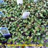 Creeping Wire Vine | Muehlenbeckia
