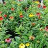 Echinacea 'Cheyenne Spirit' Coneflower