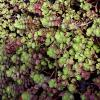 Elizabeth Sedum Ground Cover
