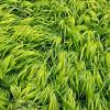 All Gold Japanese Forest Grass | Hakonechloa
