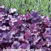 Heuchera Plum Pudding