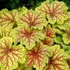 Red Lightning Heuchera