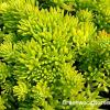 Sedum rupestre 'Lemon Ball'