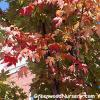 Red Sunset Maple Tree