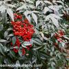Nandina Domestica Heavenly Bamboo
