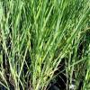 Panicum Cloud Nine | Switch Grass