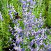 Perovskia Peek-A-Blue | Russian Sage
