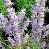 Lacey Blue Russian Sage