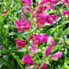 Rock Candy Ruby Penstemon