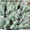 Blue Spruce Sedum Ground Cover