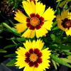 Coreopsis SunKiss Tickseed