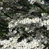 White Flowering Dogwood Trees
