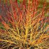 Arctic Sun Red Twig Dogwood