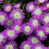 Delosperma Violet Wonder | Ice Plant