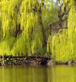 Niobe Gold Weeping Willow Flowering Trees
